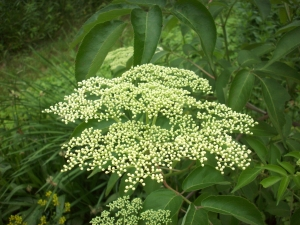 Elder Flower growing in our organic herb gardens.